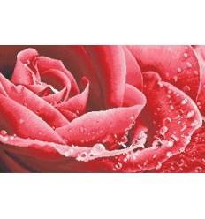 Роза МЦ1-006